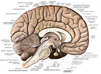 Human Brain Fore Brain Mid Brain And Hind Brain With Videos Examples