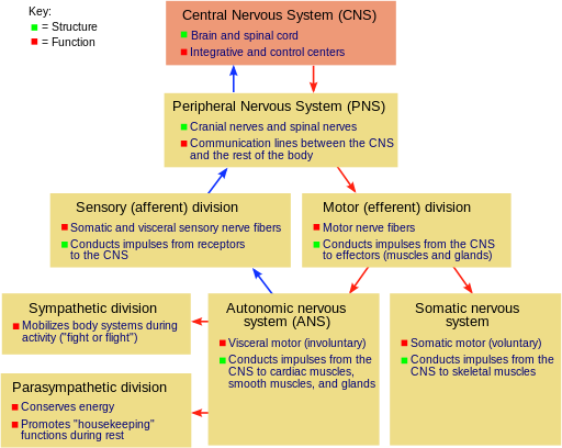 Nervous System Central System Peripheral System Nerves Neurons