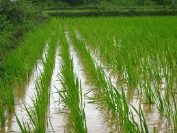 Crops - Rice farm
