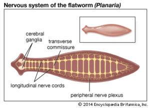 Planaria Nervous system