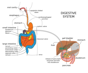Digestive system mouth stomach intestines with questions videos human digestive system ccuart Image collections