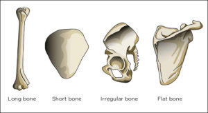 Skeletal System: Parts, Structure, Functions, Bones, Videos
