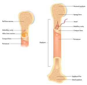 Structure-of-bone