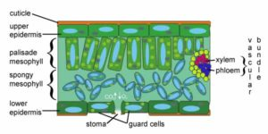 Excretion in Plants