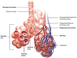 Respiration: Types, ATP, Human Respiratory System, Videos