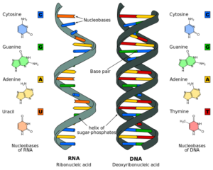Nucleic acid structure nucleotide structures of dna and rna examples nucleic acid structure ccuart Images