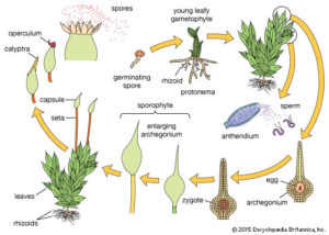 Bryophytes: Unique Features, Classification, Importance with Examples