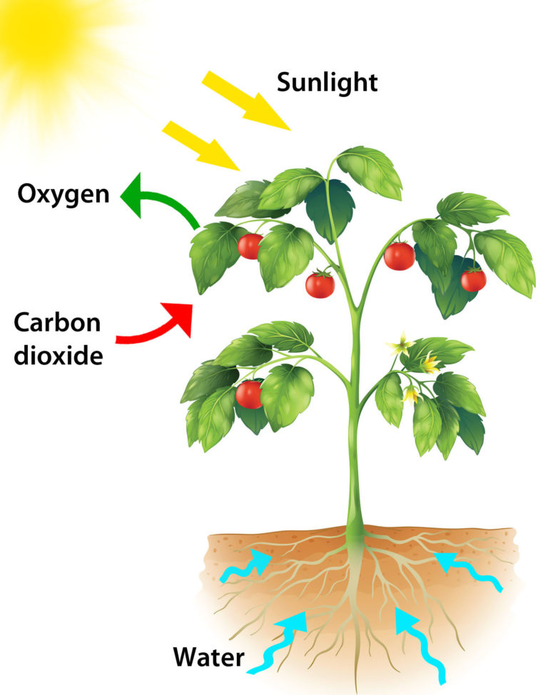 pictures of photosythesis Photosynthesis (photo = light and synthesis = to make) is the process plants use to change carbon dioxide and water into sugar using sunlight this sugar, glucose, is their food, and the process gives.