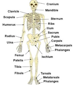 Skeleton system introduction bones types videos solved questions skeleton ccuart Choice Image