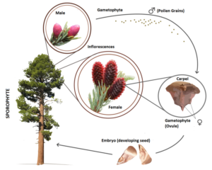 Life Cycle of Gymnosperms