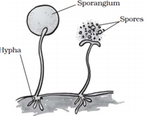 Asexual fungal spores definition
