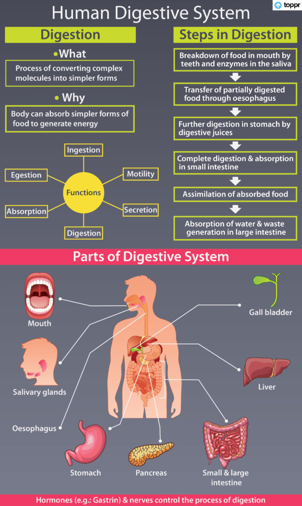 digestive system cheat sheet
