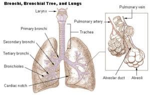 Respiratory Organs