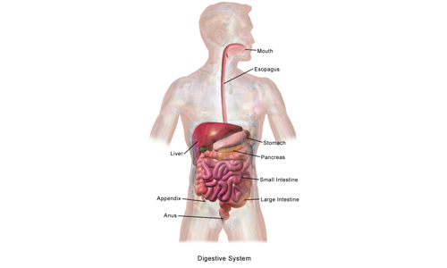 Human Digestive System Parts, Functions and Organs