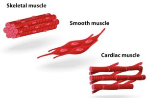 Muscular and Nervous Tissue: Types, Examples, Videos ...