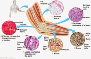 Connective Tissue Blood Bones Areolar Tissue With Example And Videos