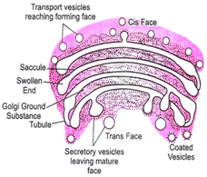 Cell Organelle: Organelles, Structure, Functions, Videos and