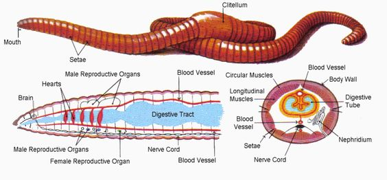 Earthworm: Morphology, Body Anatomy, Concepts, Questions and Videos