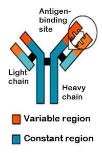 Antigen and Antibody