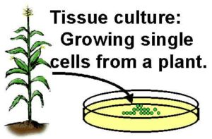 Plant Tissue Culture and Single Cell Protein: Meaning, Examples, Videos
