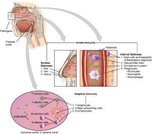 Interferons and Lymphoid Organs
