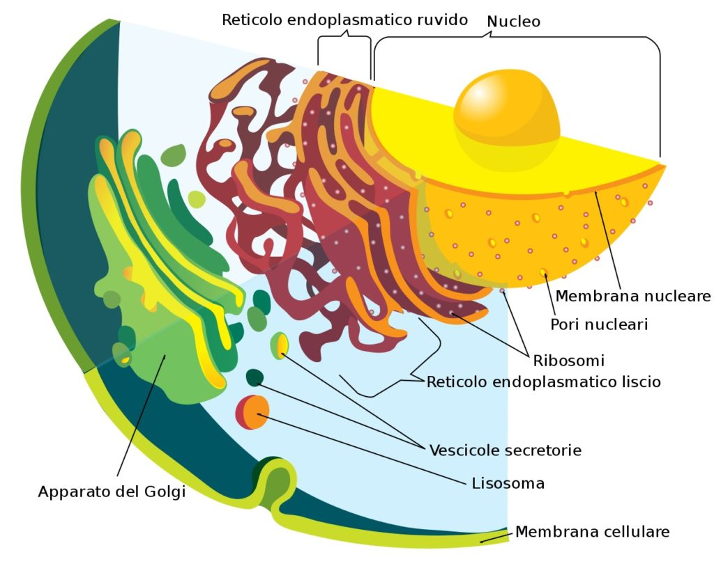 endoplasmic reticulum function
