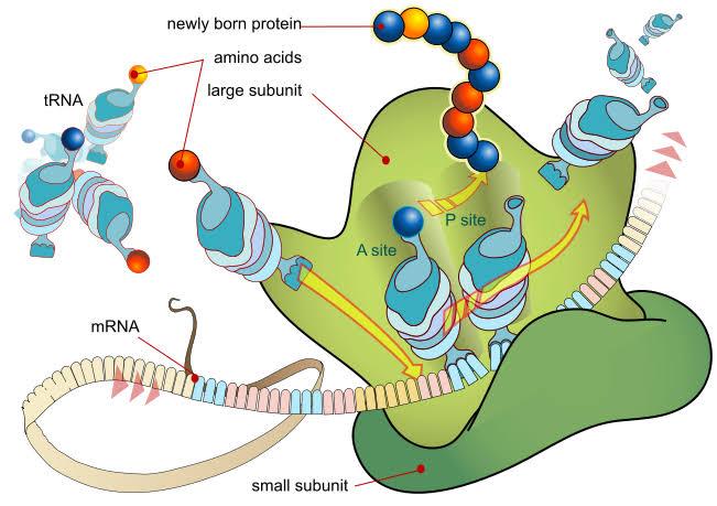 ribosomes function
